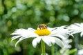 Bee on a daisy Royalty Free Stock Photo