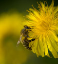 Bee on Dandelion Royalty Free Stock Image