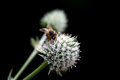 Bee on dandelion flower Royalty Free Stock Photos