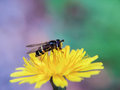 Bee on dandelion gathering pollen from a flower towards violet and green colors Royalty Free Stock Image