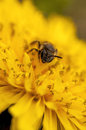 Bee on a dandelion springtime honeybee yellow Stock Images