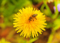 Bee on dandelion stained pollen a flower a Stock Image