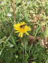 Bee on a Dandelion weed Royalty Free Stock Photo