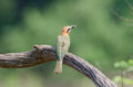 Bee eater with bee on branch a white fronted a a Royalty Free Stock Image