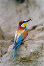 Bee eater with bee european merops apiaster a prey at its beak Royalty Free Stock Images