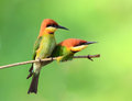 Bee eater bird couple of blue throated of thailand sitting on tree limb on green background Royalty Free Stock Photos