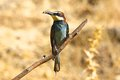 Bee-eater Royalty Free Stock Photo