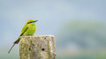 Bee eater on left close up of green Royalty Free Stock Photos