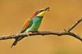 Bee eater photo of with a Royalty Free Stock Image