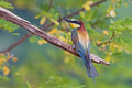 Bee eater photo of with dragonfly in it s beak Royalty Free Stock Photo