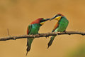 Bee eater photo of feeding each other Royalty Free Stock Images