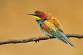 Bee eater photo of standing on a branch Royalty Free Stock Photography