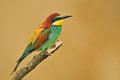 Bee eater photo of standing on a branch Royalty Free Stock Images
