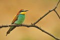 Bee eater photo of standing on a branch Stock Images