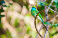 Bee eater sitting at branch in sri lanka Royalty Free Stock Photos