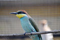 Bee eater in a zoo Royalty Free Stock Photos