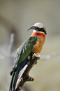 Bee eater in a zoo Royalty Free Stock Images