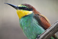 Bee eater in a zoo Stock Photography