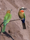 Bee-Eaters - Botswana Stock Images