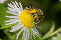 Bee eating pollen on a daisy flower Stock Photography