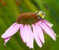 Bee on echinacea flower a close up shot of a an coneflower bright pink and plain dark green background Royalty Free Stock Photo