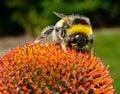 Bee on echinacea flower (macro) Royalty Free Stock Photo