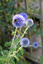 Bee on echinops flower photo of a bumble collecting pollen from a country garden Royalty Free Stock Photography