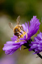 Bee feeding on flower purple Royalty Free Stock Image