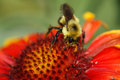 Bee on a firewheel flower Royalty Free Stock Photography