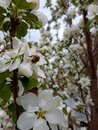 A bee flew to the blossoming apple tree to pollinate it. Royalty Free Stock Photo