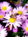 Bee on a flower Royalty Free Stock Photo