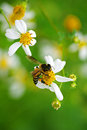 Bee on the flower a Royalty Free Stock Photo
