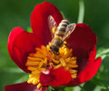 Bee in flower amazing honeybee pollinated of red Stock Photography
