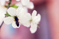 Bee on a flower beautiful blooming flowers cherry tree branch Royalty Free Stock Image