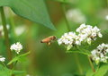 Bee and flower of buckwheat photographed a collecting the honey the Stock Image