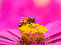 Bee on flower close up pink Royalty Free Stock Photo