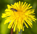 Bee on a flower collect nectar dandelion Stock Image