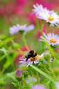 Bee on flower collecting nectar or honey Royalty Free Stock Photography