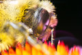 Bee on flower collecting pollen extreme macro beautifull Royalty Free Stock Photo