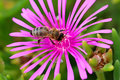 Bee on a flower delosperma cooperi l bolus plant close up Royalty Free Stock Images