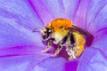 Bee and flower honey on collecting pollen extreme macro Stock Photo