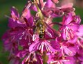 Bee on flower a landed a fucsia color Royalty Free Stock Images