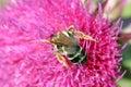 Bee on flower macro spring season Stock Image