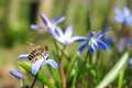 Bee and flower pollinate beautiful blue luciles glory of the snow chionodoxa luciliae Stock Image