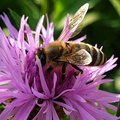 Bee on flower pollination honey bee Royalty Free Stock Photo