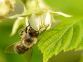 Bee on flower of raspberry works Stock Image