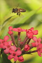 Bee on flower resting nectaring Royalty Free Stock Photography