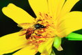 Bee and flower. Royalty Free Stock Photo