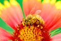 Bee and flower sunflower gerbera macro honey pollen pollination industry insect Stock Photography
