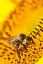 Bee on flower vertical extremely macro Royalty Free Stock Photos